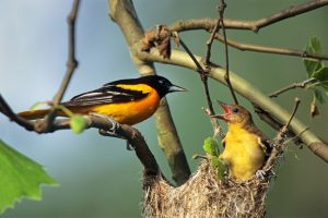Baltimore Oriole nesting along the Cuyhoga River, Ohio. Join MisionnFiT's Challenge The National Parks! Week 2