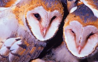 Barn Owls Nesting in the cliffs of Pinnacles National Park